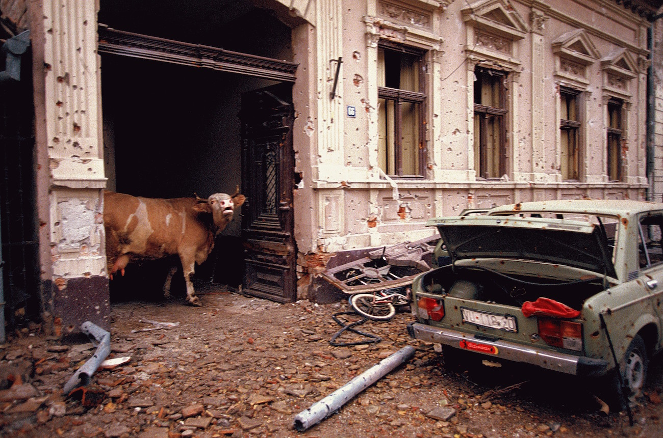 Ethnic Cleansing - A cow wanders in the destroyed streets of the Croatian city of Vukovar, Nov. 19, 1991. The city was completely destroyed after three months of bombing by Serbian forces., Image: 116177615, License: Rights-managed, Restrictions: Content available for editorial use, pre-approval required for all other uses. This content not available to be downloaded through Quick Pic Not available for license and invoicing to customers located in the Czech Republic. Not available for license and invoicing to customers located in the Netherlands. Not available for license and invoicing to customers located in India. Not available for license and invoicing to customers located in Finland. Not available for license and invoicing to customers located in Italy., Model Release: no, Credit line: Profimedia, Corbis VII