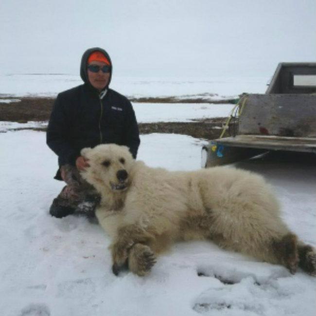 Ubijeni hibrid grizlija i polarnog medveda