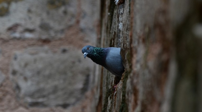 A pigeon peeps out from its nest in the wall of the Ugrasen Ki Baoli or step-well in New Delhi on August 20, 2015.  AFP PHOTO / SAJJAD HUSSAIN / AFP PHOTO / SAJJAD HUSSAIN