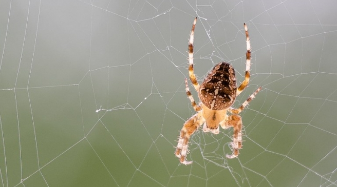A European garden spider (Araneus diadematus) is pictured while spinning its web on September 13, 2016 in Lille. / AFP PHOTO / DENIS CHARLET