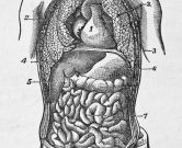 http://thebrainstormlab.com/banners/ami_banner.jpgThis is a medical illustration of a human torso.