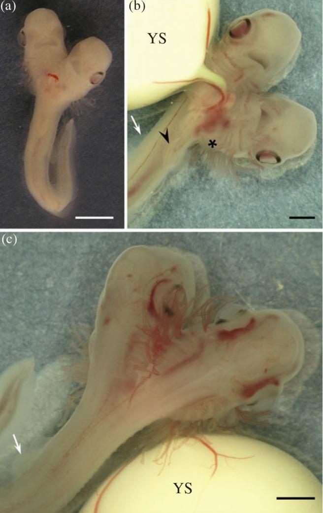 Embrij morskih pasa