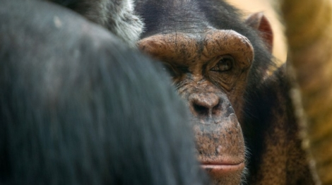 Portrait of a chimpanzee  in the Zoopark of Beauval on July 19, 2014 in St Aignan. AFP PHOTO / GUILLAUME SOUVANT / AFP PHOTO / GUILLAUME SOUVANT