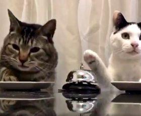 Mačke naručuju hranu