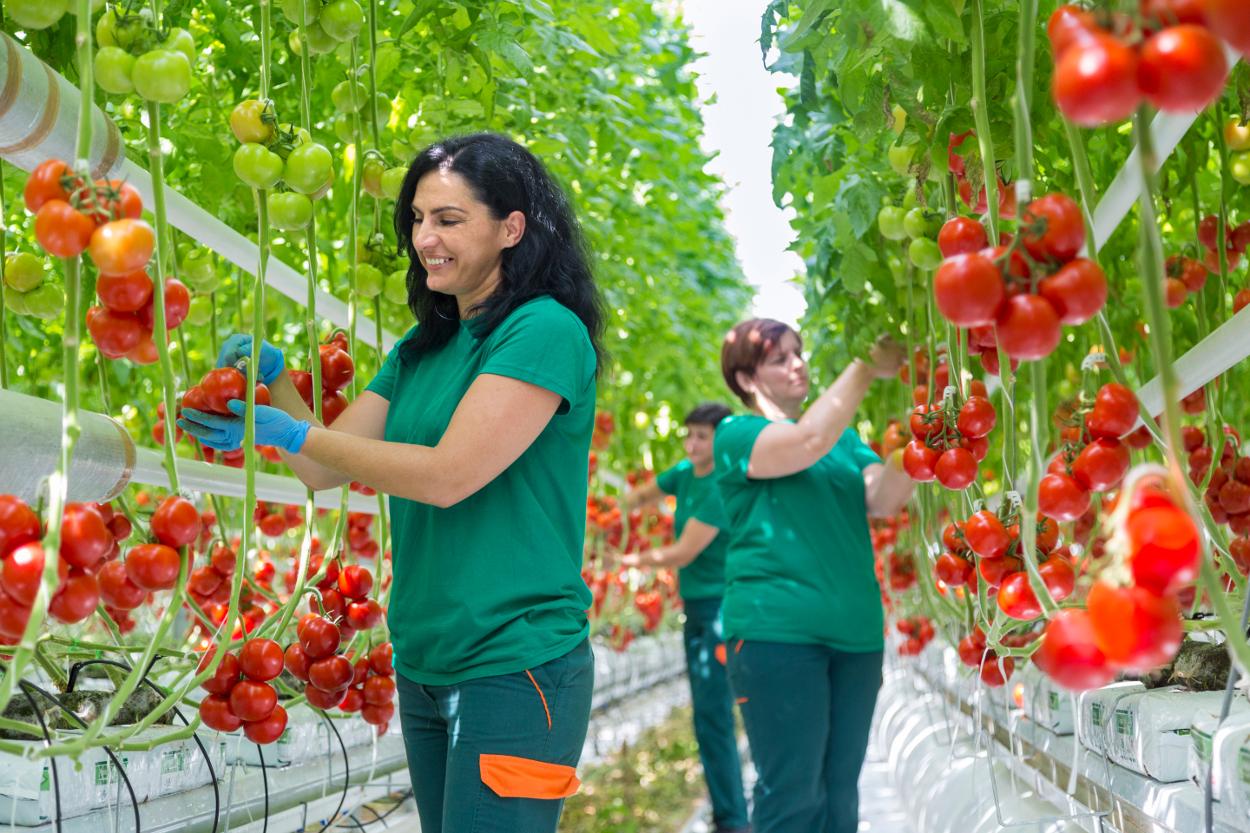 Slikovni rezultat za hidroponski uzgoj rajčice ruris