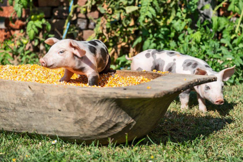 Domaća svinjetina kaufland
