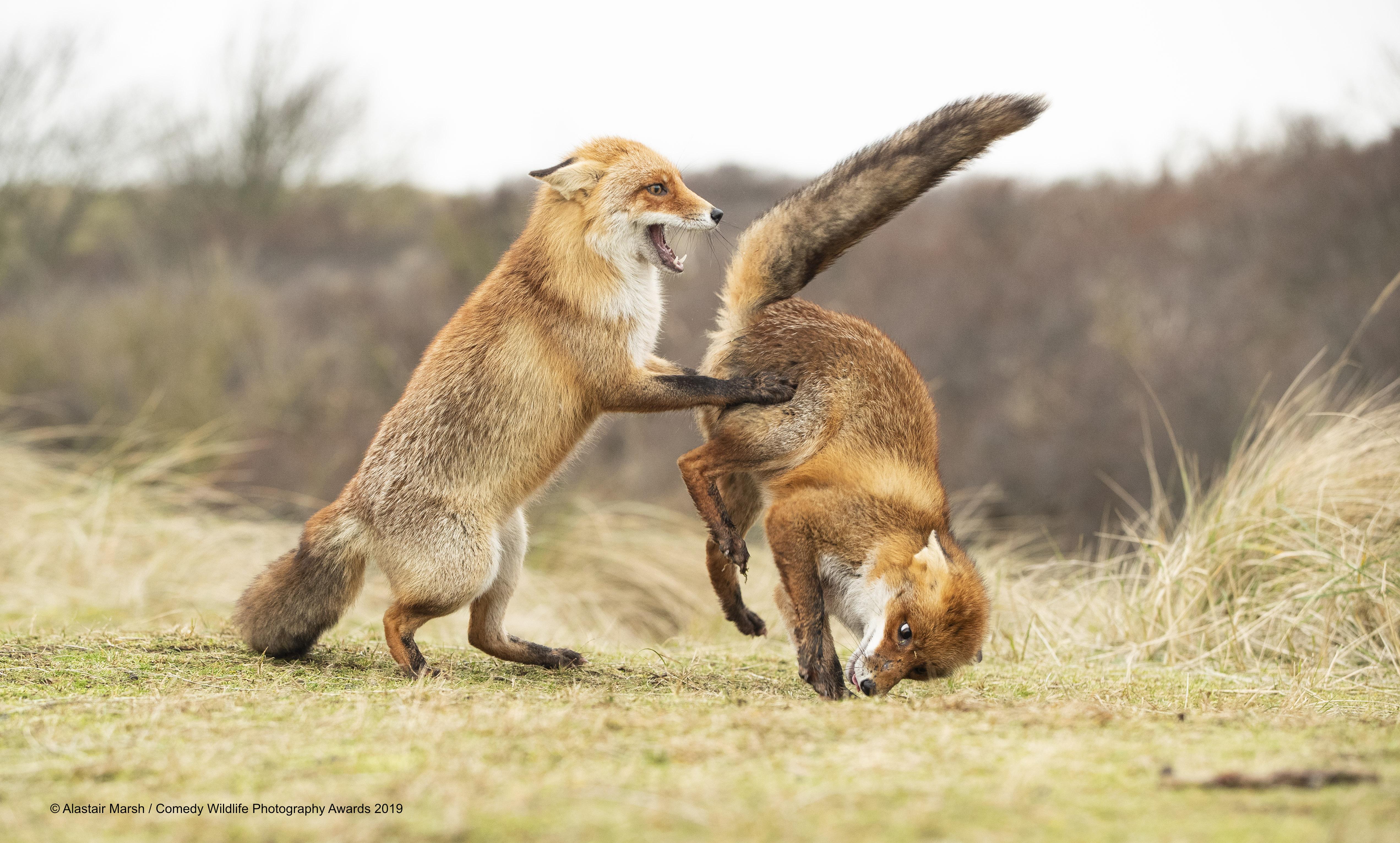 Jedna lisica pokazuje drugoj što misli o njoj, snima Alastair Marsh