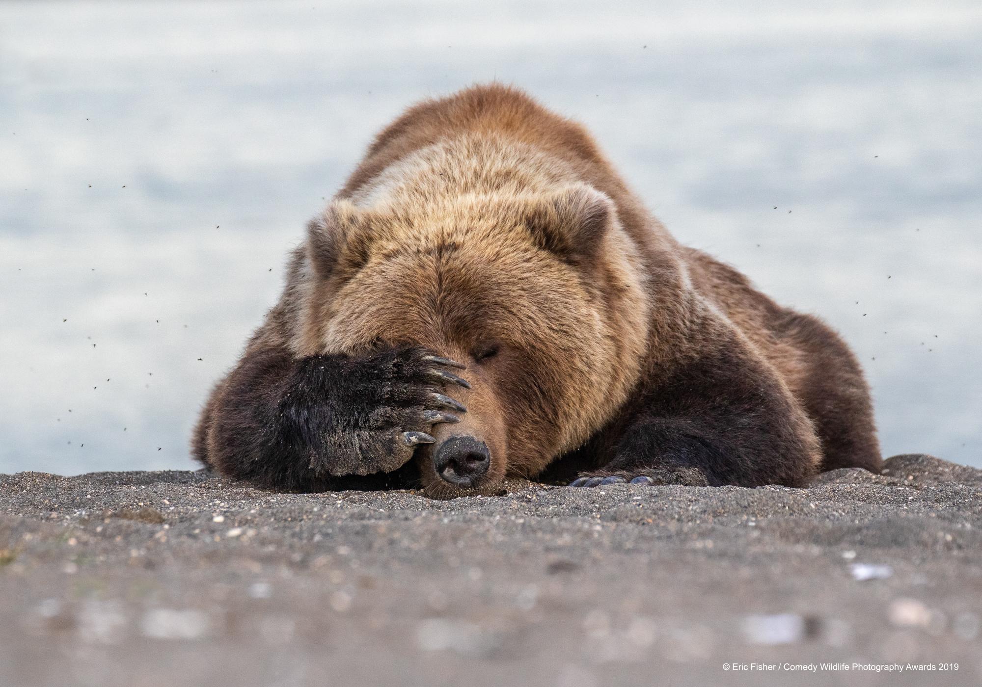 Smeđi medvjed na Aljasci, snimio Eric Fisher