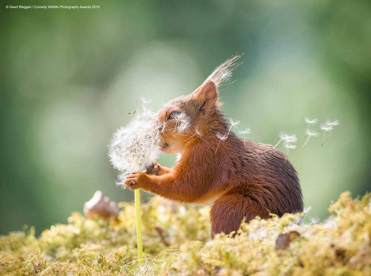 Crvena vjeverica, snimio Geert Weggen