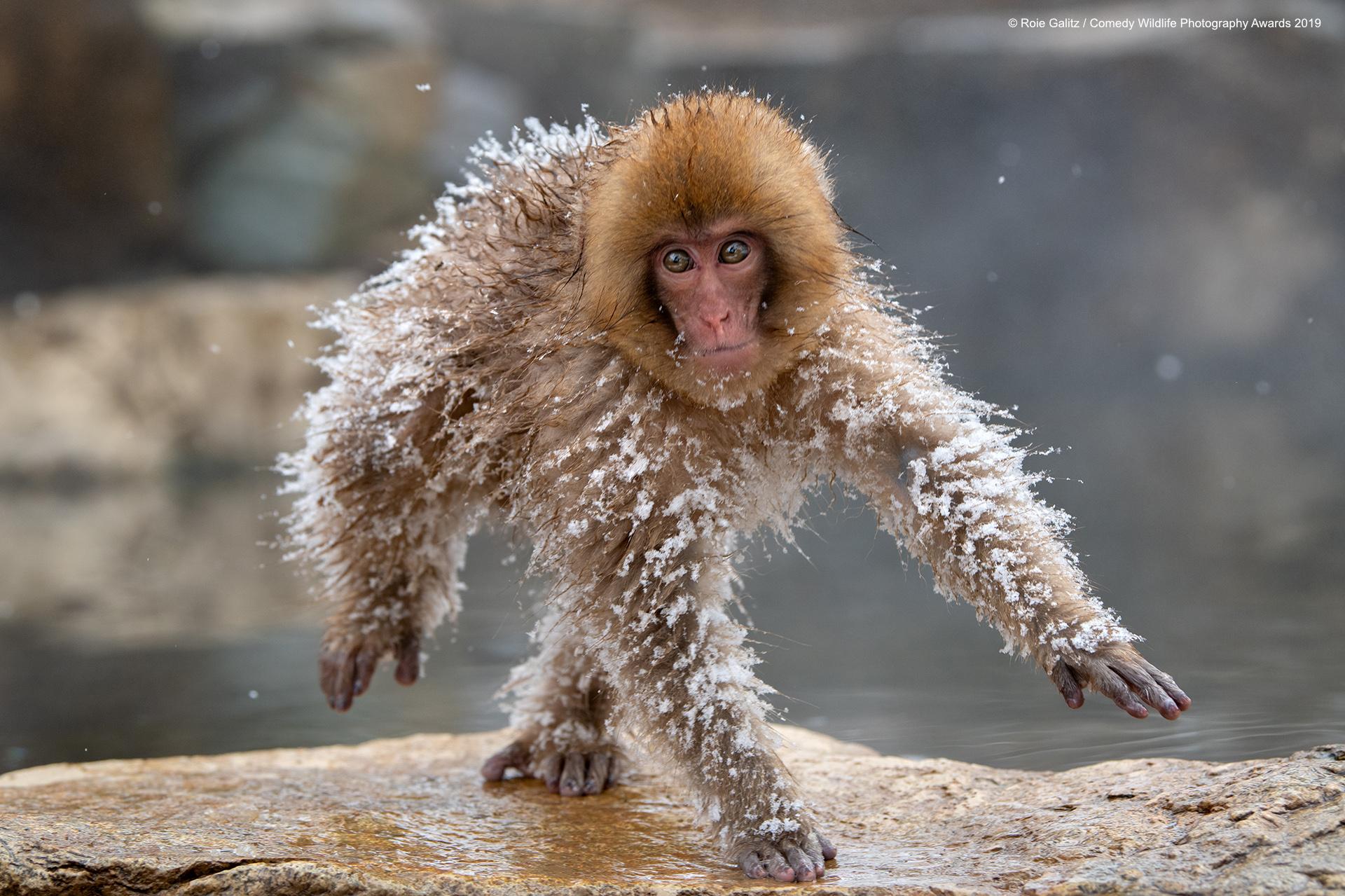 Japanski makaki, nakon malo valjanja po snijegu. Snima Roie Galitz