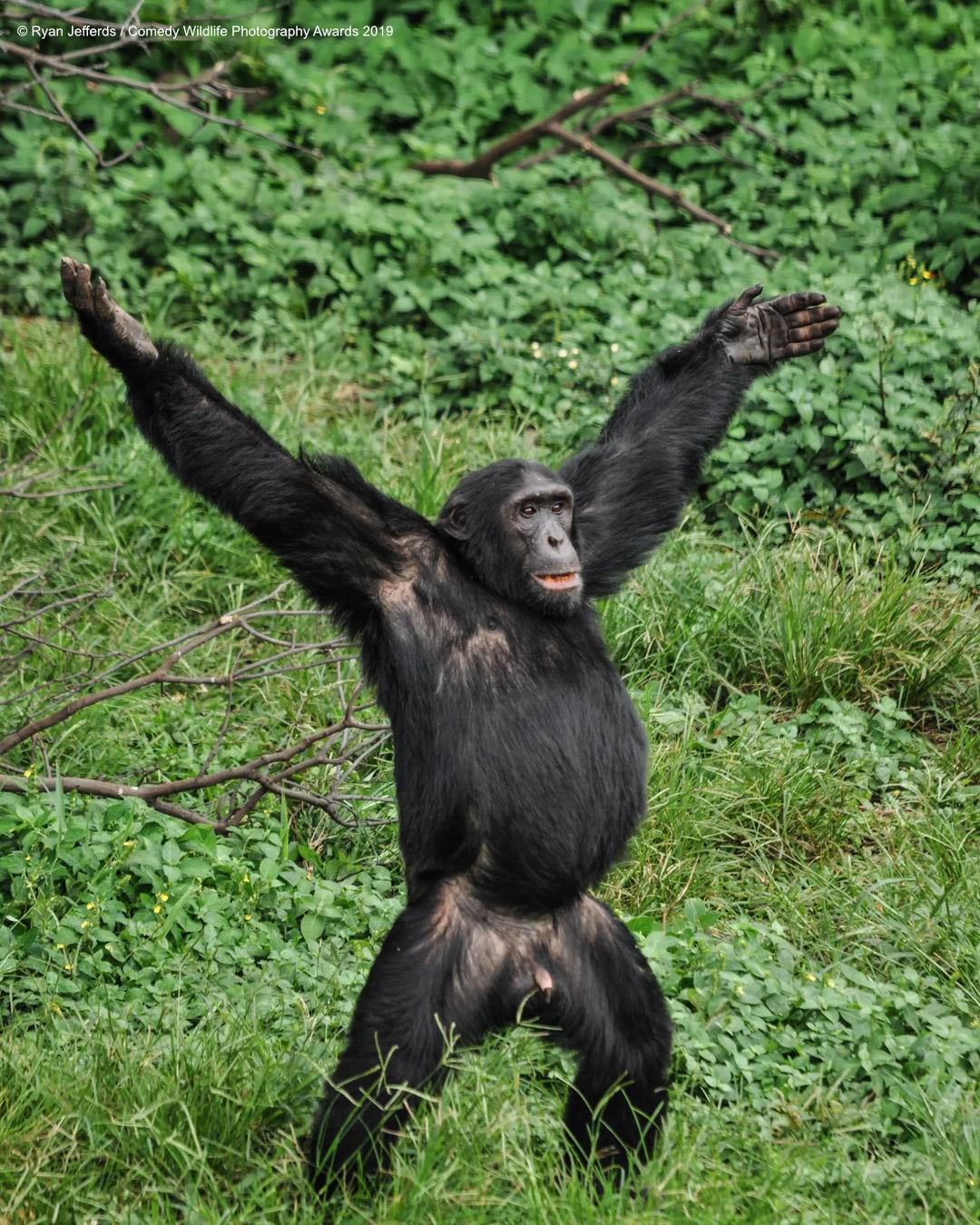 Čimpanza koja je spremna uloviti hranu, snimio Ryan Jefferds