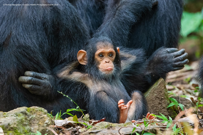 Mala čimpanza odmara, ležerno naslonjena na svoju mamu. Snimio Thomas Mangelsen