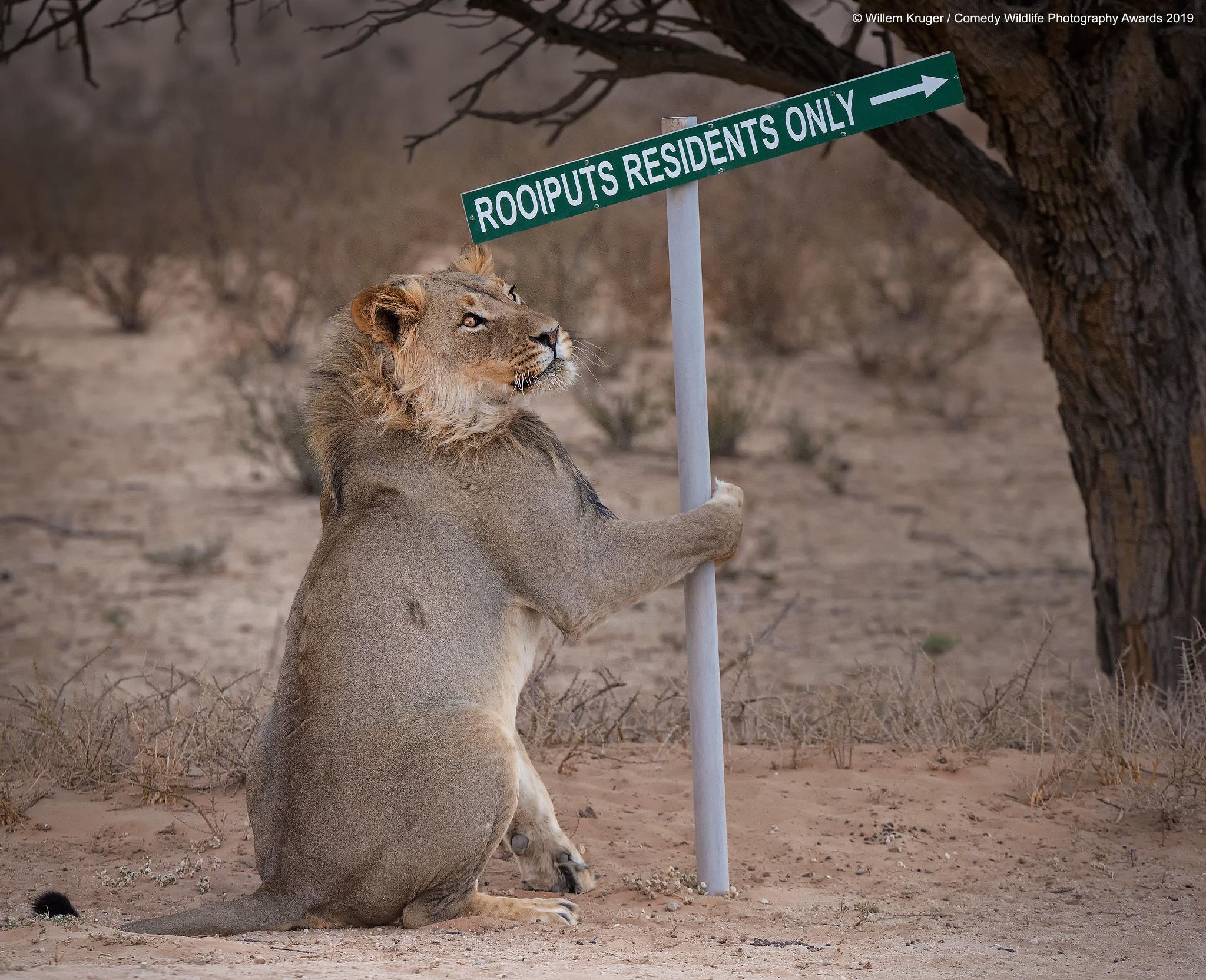 Nismo sigurni što lav namjerava s tim putokazom, snima Willem Kruger