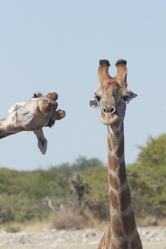 Ono kad ti frend uleti u fotku taman kad se namjestiš. Ovu fotku snimila je Brigitte Alcalay u Namibiji.