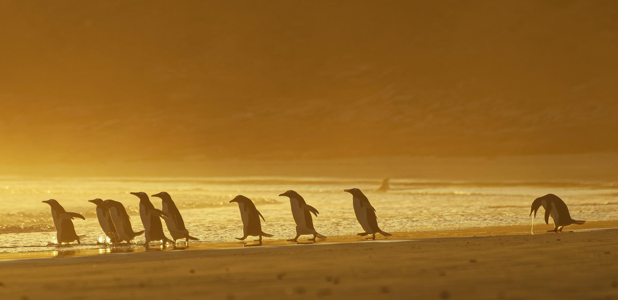 Povratak iz izlaska u mlađim danima. Autorica je Christina Holfelder, a sliku je uhvatila na Falklandskim otocima.