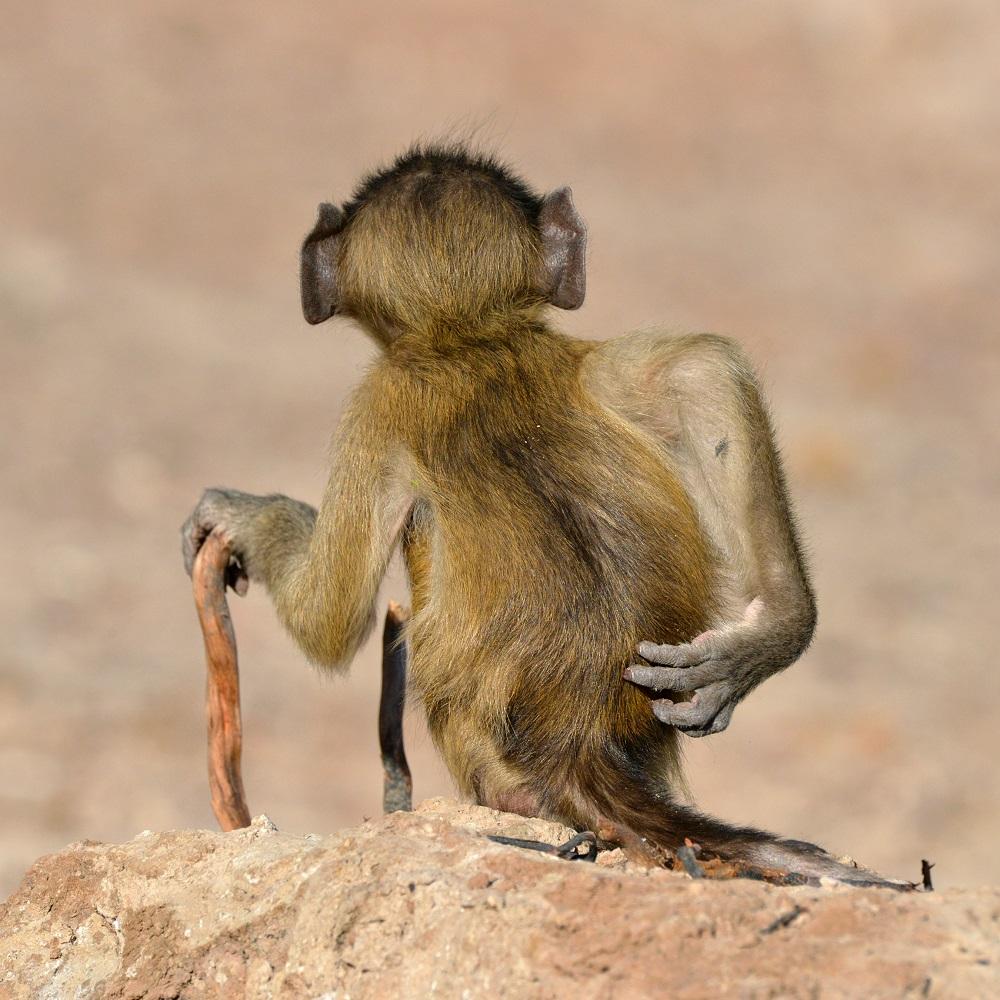 Majmunčić ne mari za regule lijepog ponašanja u javnosti. Fotografija Martina Gracea snimljena u Bocvani.