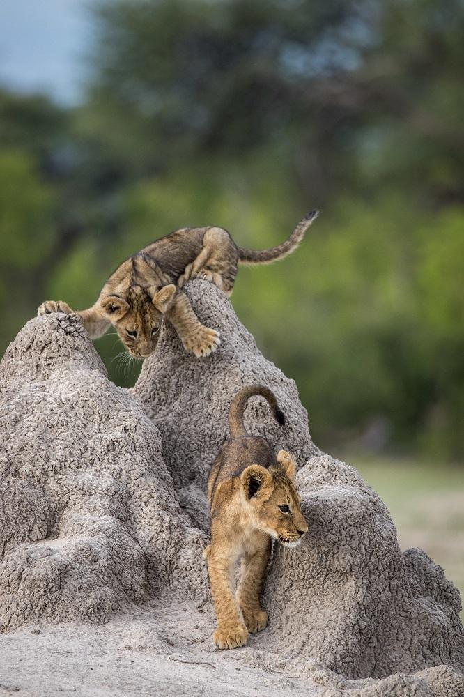 Fotografija 'Ovog puta sam te uhvatio' fotografa Olina Rogersa snimljena u Zimbavevu.